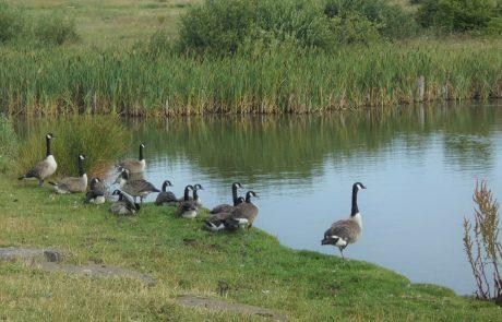 Ducks on small lake